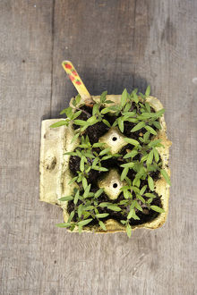 Cardboard egg box containing tomato plant seedlings