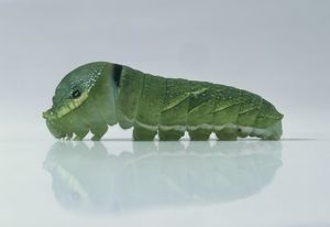 Caterpillar of Crow swallowtail (Papilio bianor), close-up, side view