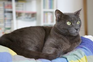 Chartreux Grey Cat