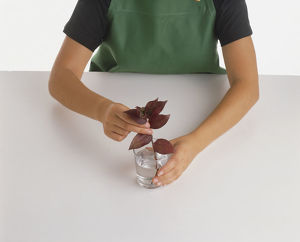 Child placing Tradescantia leaf cutting into glass of water.