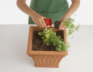 Child planting diagonal rows of herbs in square terracotta container, removing feverfew