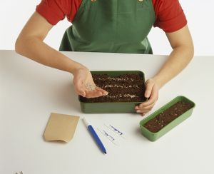 Child planting seeds in seed tray, forming three rows, scattering seeds from hand