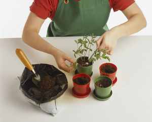 Child transplanting leafy seedling into individual plastic flowerpot, pushing label