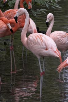 Chilean flamingoes (Phoenicopterus chilensis) in water