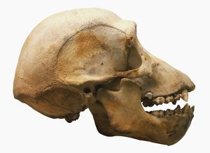Chimpanzee skull, brain dome, eye sockets, deep flange, protruding jaw with large canines