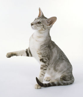 Chocolate Silver Classic Tabby Oriental shorthaired cat with sleek appearance