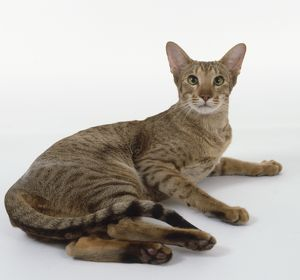 Chocolate Spotted Oriental shorthaired cat with wedge-shaped head, long neck