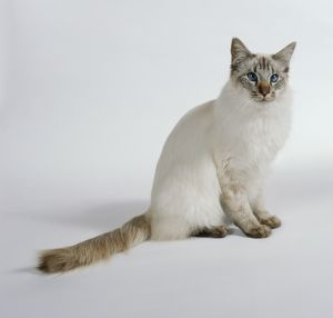 Chocolate Tabby Point Balinese cat with blue eyes