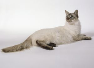 Chocolate Tabby Point Tortie Balinese cat with ivory body and complete mask, lying down.