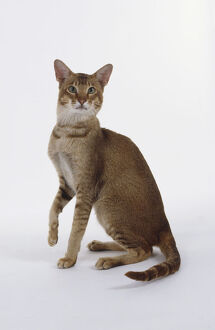 Chocolate Ticked Tabby Oriental shorthaired cat with green eyes and svelte body
