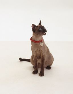Chocolate Tonkinese cat miaowing