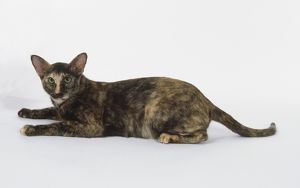 Chocolate Torite Oriental shorthaired cat with chocolate and red coloration, lying down
