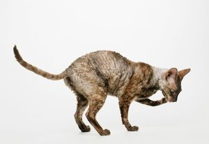 Chocolate Tortoiseshell Cornish Rex cat licking paw
