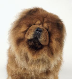 Chow chow with head tilted to one side, close-up, front view