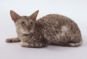 Cinnamon Silver Cornish Rex cat with flat skull and slender, muscular body, lying down.