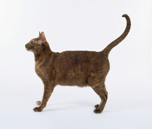 Cinnamon Tortie Oriental shorthaired cat with long, elegant legs, standing with tail