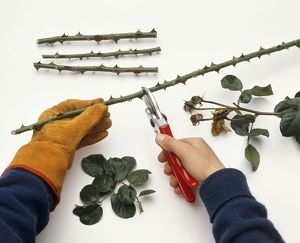 Clipping off sections from thorny rose stem to create cuttings, using secateurs, close-up