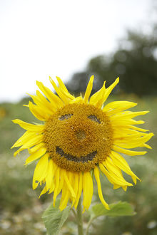 Close-up of sunflower plant with a smiley face imprinted on it