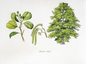 Common Alder (Alnus glutinosa), plant with flowers, leaves and fruits, illustration