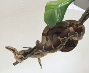Common Boa coiled around a branch, showing its narrow head and square-off snout, an eye