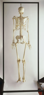 Complete human skeleton, rear view.