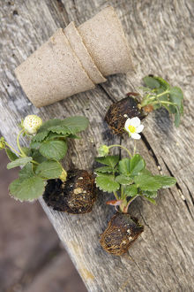 Three compostable plant pots and three strawberry seedlings on wooden table