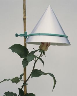 Conical hat protecting show bloom rose from rain and damage