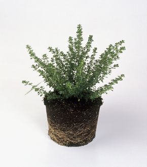 Container grown Prostanthera cuneata with well-established root system and vigorous