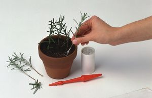 Container of hormone rooting powder, dibber, hand placing rosemary cutting into compost