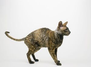 Cornish Rex cat, standing, side view