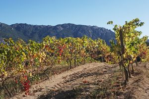 Corsica, Vallee de l'Orto, Domaine Saparale, autumn colours of vines with mountain