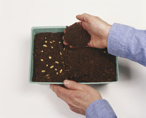 Covering seeds in tray with compost