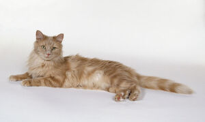 Cream Classic Tabby Turkish Angora cat with tufted ears and long plumed tail, lying down