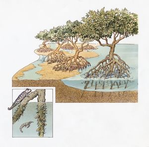 Cross-section of Mangrove Swamp in Ecuador with inset showing Mudskipper and Shrimp