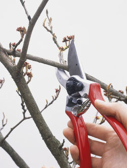 Cutting branch using secateurs