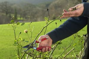 Cutting a plant with secateurs