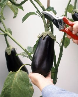 Cutting ripe aubergine from plant using secateurs, close-up
