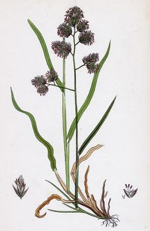 Dactylis glomerata, Rough Cock's-foot-grass