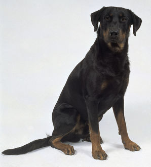 Dark coloured beauceron dog, sitting.