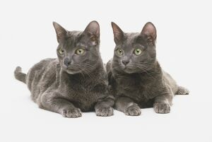 Two dark-grey Korat cats (Felis catus) lying down next to each other, looking to the side