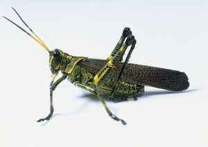 Desert Locust (Schistocerca gregaria), green insect with yellow markings, close up