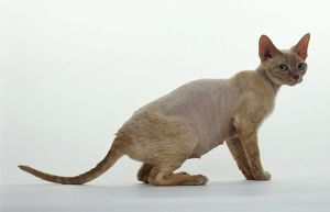 Devon Rex cat, side view