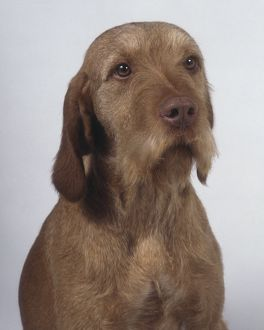 A dignified wire-haired Hungarian vizsla with a short bristly beard and long drooping ears