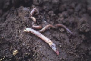 Earthworms (Annelida) in soil, close up.