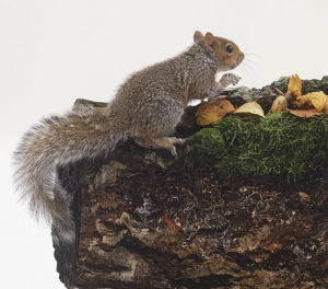 Eastern Grey Squirrel (Sciurus carolinensis) perched on log, side view.