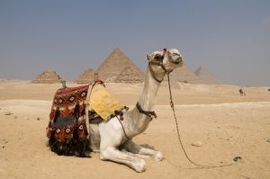 Egypt, Giza, saddled camel resting near the pyramids