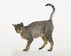 Egyptian mau cat standing on all fours with tail raised