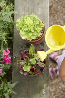 Elementary age girl watering lettuce plant with small yellow plastic watering can