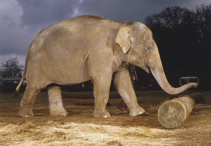 Elephas maximus, elephant, side view of adult pushing a log with its trunk.