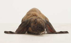 English Lop Rabbit (Leporidae), front view